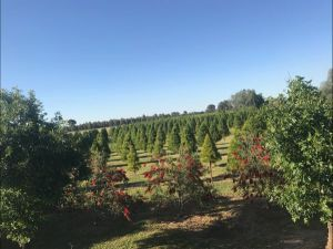 Rutherglen Christmas Trees Farm Stay - Accommodation Nelson Bay