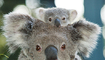 Billabong Koala and Wildlife Park - Accommodation Nelson Bay