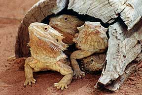 Alice Springs Reptile Centre - Accommodation Nelson Bay