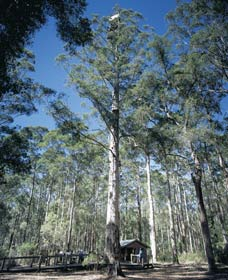 Diamond Tree Lookout Manjimup - Accommodation Nelson Bay