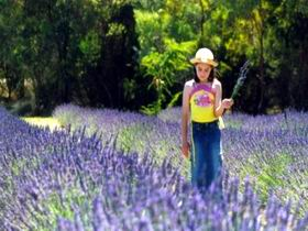 Brayfield Park Lavender Farm - Accommodation Nelson Bay