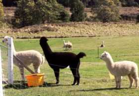 Maydena Country Cabins Accommodation  Alpaca Stud - Accommodation Nelson Bay