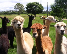 Banyandah Alpacas - Accommodation Nelson Bay