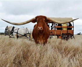 Texas Longhorn Wagon Tours and Safaris - Accommodation Nelson Bay