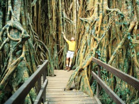 Curtain Fig Tree - Accommodation Nelson Bay