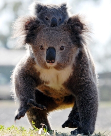 Koalas in Gunnedah - Accommodation Nelson Bay