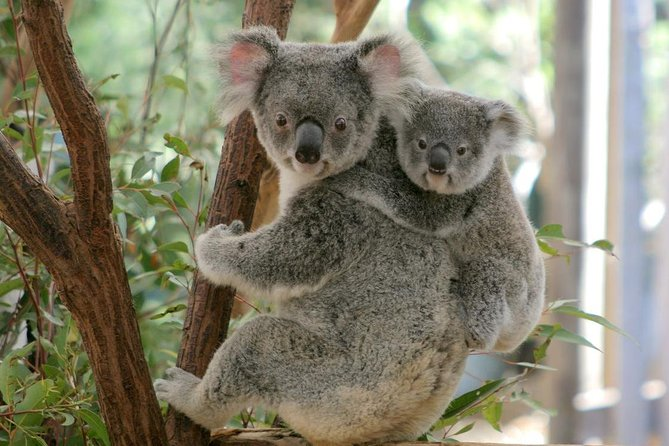 Lone Pine Koala Sanctuary Day Pass - Accommodation Nelson Bay